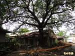 老樹移植當門面 反對者爭取原地保護
