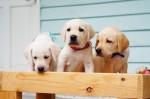 毛小孩覓新家! 導盲犬協會徵求寄養家庭