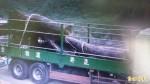 2集團盜採牛樟珍木97噸 與收贓廠商26人起訴