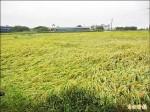 農損300萬元 啟動災害稻穀收購