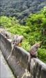 保育類獼猴毀農作 投縣農業處:依法可獵捕