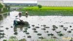 梅雨鋒面挹注 台南二期稻6.11起供灌