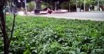 上街就能採大麻? 哈薩克市議會忙追查