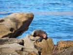 可憐海豹遭鯊吻 嚇到不敢回水裡