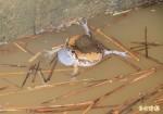 外來種花狹口蛙繁殖快 威脅台灣原生種