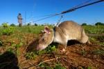 救人無數! 「英雄鼠」探測地雷一把罩