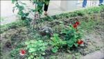 剪鄰居8支花 被告竊盜