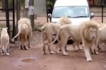 駕車遊南非獅子園 女子開窗拍照遭咬死
