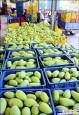 金煌產量大增 南化農會收購拓外銷