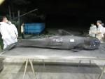 短肢領航鯨枉死 解剖胃內竟塞滿塑膠袋