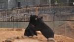 錯把「熊」當「狗」養 農夫養2年才發現