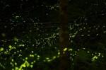 地上星光! 大安森林公園將野放螢火蟲