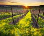 太美了! 葡萄園酒莊種滿玫瑰是為了…