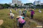 台大「鹿鳴米」結穗慶收割 將出征反銷日本