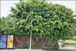〈植物大觀園〉老樹老屋 風情萬種