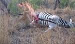 花豹享用斑馬餐 馬屍噴「回馬槍」