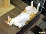 愛貓成痴 咖啡店變身認養平台