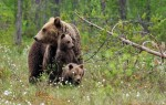 「熊患」頻傳 義國政府允許獵殺棕熊