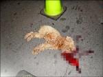 貴賓狗遭從5樓丟下 爆頭慘死