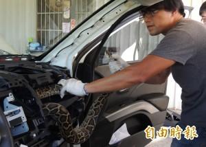 開車開一半「涼涼的」 哇!是條蟒蛇