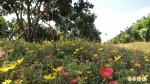 柚園鋪上花地毯 賞花還可省肥料