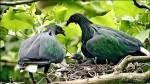 度度鳥遠親 綠簑鴿育雛