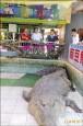 鱷魚王堅持明年熄燈 動保處訪視