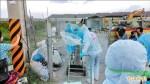 禽流感再現台東 撲殺300雞鴨鵝