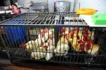 今夏傳疫情!國外研究:禽流感病毒變耐熱