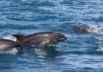 保育海豚斷尾浮海面 死因待釐清