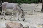 史瑞克好友來了 非洲野驢動物園亮相