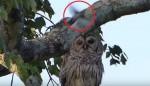 被小鳥瘋狂攻擊!這隻貓頭鷹的表情超淡定