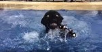 小黑豹跑跳進泳池 發現水太深嚇瘋了!
