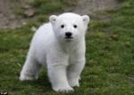 北極熊努特癲癇溺斃 死因竟是人類腦疾
