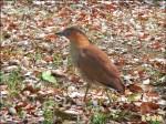 坪林森林公園 黑冠麻鷺現蹤