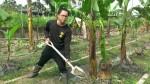 澳洲打工取經 28歲黃明賢種香蕉有一套