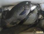 經濟價值高 瓜子鱲人工繁殖成功