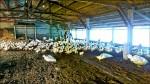 雲嘉再爆H5N8禽流感 撲殺6064隻肉鴨