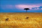 追蹤牛羚、斑馬大遷徙─肯亞馬賽馬拉SAFARI