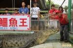 養30年巨鱷送中國?  鱷魚王:那邊人多、牠愛熱鬧