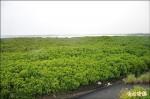 繁殖快害生態 1300萬清除香山濕地紅樹林