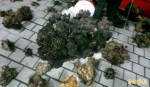 墾丁生態浩劫 2男盜242株珊瑚被逮