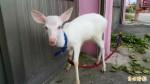 小山羊攬客?不!是罕見白色梅花小鹿!