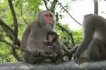 台灣獼猴萌照曝光
