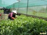菜價飆飆飆 小白菜較颱風前漲5倍多