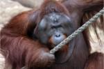 德國猩猩逃脫事件 園方決定含淚射殺