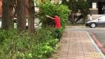 「砍頭」修綠籬惹議 樹醫師說灌木沒問題