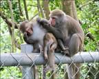 沉思、露點… 台灣獼猴好萌