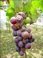 雨害減產 南投縣信義近5成葡萄園受損