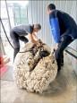 澳洲「超膨」綿羊 身懷42公斤毛